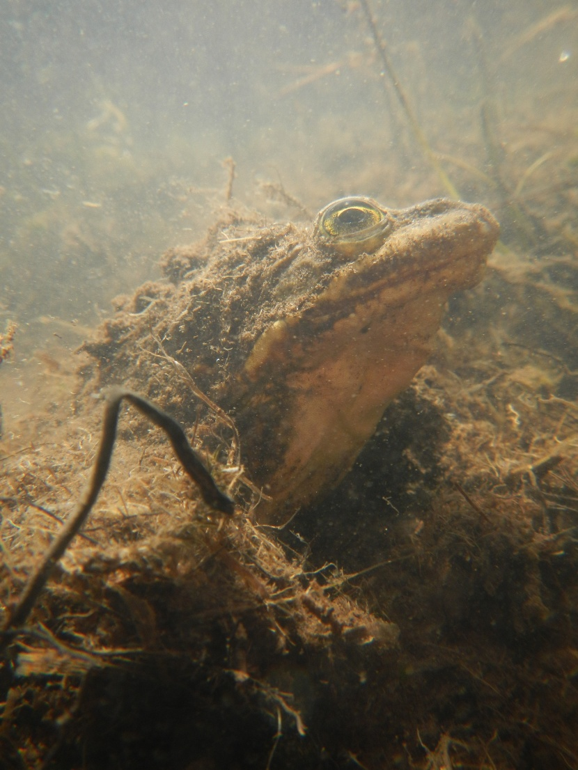 tripp_columbia_spotted_frog