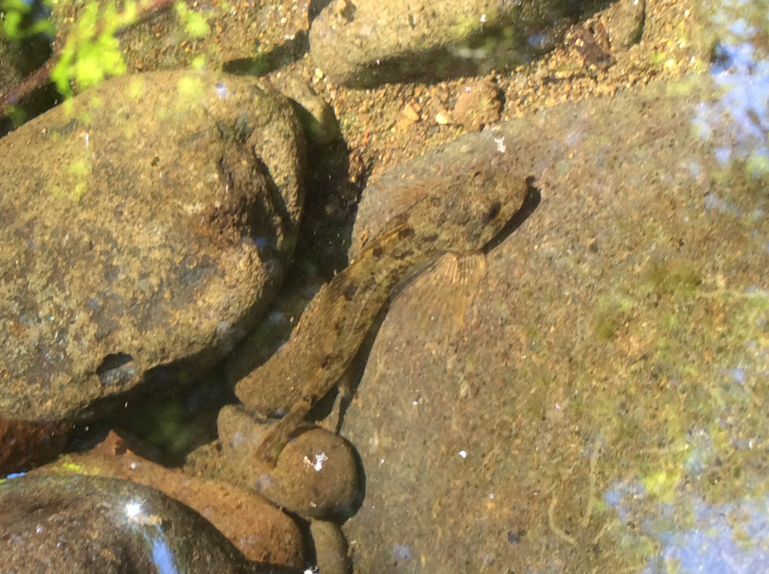 sculpin_trapcreek_june2015